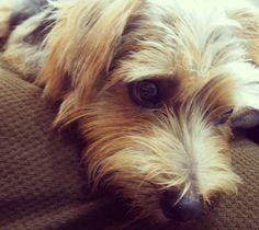 #dog #norfolkterrier #fluffypack #pawstruck #bestwoof #terriers #fluffy #terrier #tflers #doggy #cutedog #dogoftheday #pets_of_instagram #instagood #puppylover #instapuppy #excellent_dogs #animals #instaterrier #instapet #dogsofinstagram #paws #mydogiscutest #cane #ilovemydog