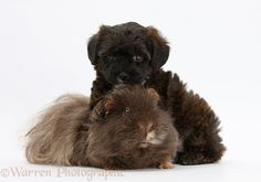 Pets: Yorkipoo pup, 6 weeks old, with Guinea pig.