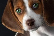 OMG...a beagle with green eyes. How gorgeous!!