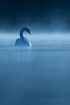 Mute Swan (Cygnus olor) at first light Beautiful Swan, Beautiful Birds, Swans, Cygnus Olor, Mute Swan, Mundo Animal, Swan Lake, Pics Art, Animal Photography