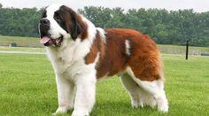 Razas de perros grandes | Cuidar de tu perro es facilisimo.com