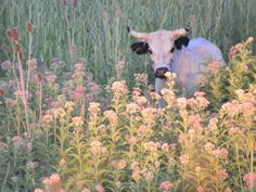 aesthetic pink cute flowers and cow 🌷 Baby Animals, Cute Animals, Wild Animals, Fluffy Cows, Cute Cows, Nature Aesthetic, Plant Aesthetic, Aesthetic Pastel, Flower Aesthetic