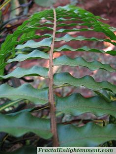 Fern frond....am fascinated with Nature's fractals!