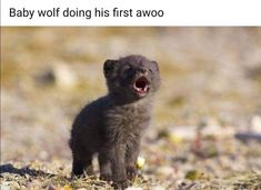 arctic fox pups first howl- by Jack Stephens I feel so happy I want to love this fox Cute Funny Animals, Cute Baby Animals, Cute Dogs, Wild Animals, Funny Cats, Baby Arctic Fox, Arctic Wolf, Baby Foxes, Fox Baby