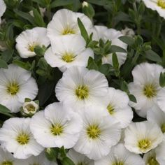 Flowers March-May. For bedding or containers. I have planted in garden & it's still flowering in July! Kraut, Perennials, Montana, Daisy, Plants, Berg, Spring, Animals, Shade Perennials