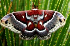 Cecropia moth.  Not real fur – just a very clever painting. The body of the moth, with real fur, is coloured to match the wings exactly. You seldom see paintings this beautiful, simply because they are too hard to make.