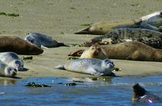 Zeehonden Oosterschelde (Seals in Zeeland, Holland) Holland Netherlands, Sea Creatures, Seals, Strand, Dutch, Places, Travel, Voyage, Dutch Language