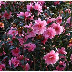 Camellia 'Donation' AGM (x williamsii)