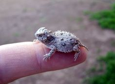 When is a toad, not a toad? When it's a horned toad!