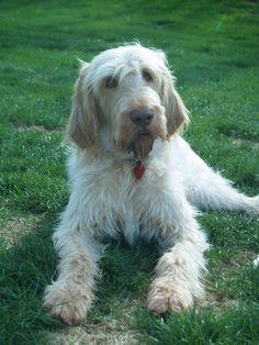 Spinone Italiano / Italian Griffon #Puppy #Dog