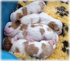 All in a row ... my cavalier puppies (10 days old)