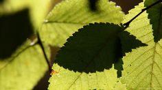¿Hoja de sombra o sombra de hoja? Verano, de buena mañana por la Casa de Campo en Madrid, los rayos de sol, incidiendo casi horizontalmente en la tierra, van atravesando las hojas de los árboles dejando claramente visibles las nervaduras y la clorofila del limbo. En ese mismo trance las sombras de las hojas se proyectan a su vez sobre las siguientes hojas en el camino del rayo de sol, buscando el ángulo y encuadre adecuados...Ver más…