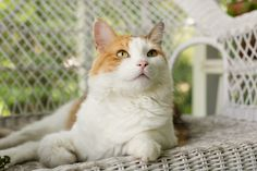 Calico cat on wicker couch | Sidewalk Shoes
