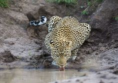 Leopard drinking at the Loliondo Reserve