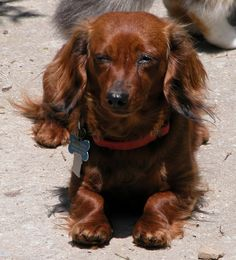 Shasta!  Gotta love long haired dachshunds!
