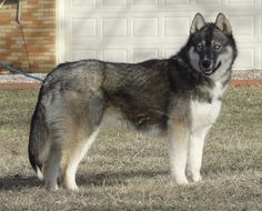 Agouti Husky. Yes that is a husky and NOT A WOLF!!! #siberianhusky