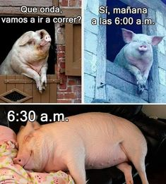 Funny Spanish Memes, Spanish Humor, Funny Jokes, Funny Images, Funny Photos, Baby Animals, Cute Animals, Mini Pigs, Comedy Central