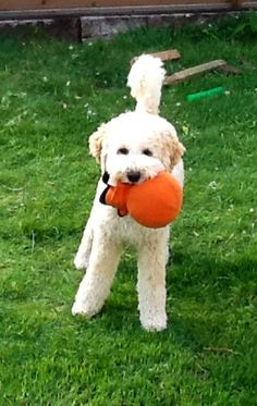 Guess what I want? It's playtime o' clock! :) #Labradoodle #puppy