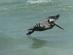 Pelican on Sanibel Island, Florida