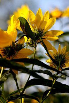 walking-geema:wild sunflowers