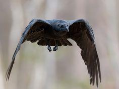 Vogel foto: Corvus corax / Raaf / Northern Raven