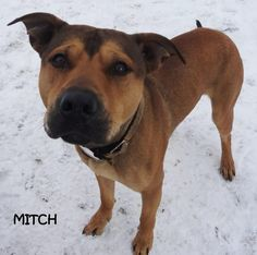 ADOPTED! AVAILABLE NOW! STRAY Tag# 5006 Name is Mitch  Pit Bull Terrier Mix  Male-not neutered Approx. 2 years old  Approx. 50 lbs.  Sweet and friendly boy! Appears house trained, loves to play ball,  listens good, and eager to please!  Located at 2396 W Genesee Street, Lapeer, Mi. For more information please call 810-667-0236  https://www.facebook.com/267166810020812/photos/a.740703216000500.1073742091.267166810020812/740704742667014/?type=3&theater