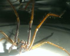 Species: Tegenaria sp.  Credit: Alice Kirby  Identify your house spiders with our FREE app! https://www.societyofbiology.org/get-involved/hands-on-biology/spider-app