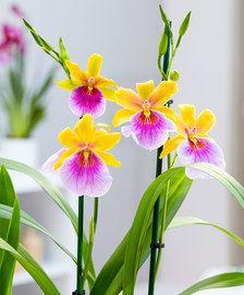 Orchidea Miltonia 'Sunset'