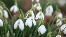 Snowdrops in the garden. Shot #2. Free HD stock footage. http://www.freemediabank.com/snowdrops-in-the-garden-shot-2-free-hd-stock-footage/