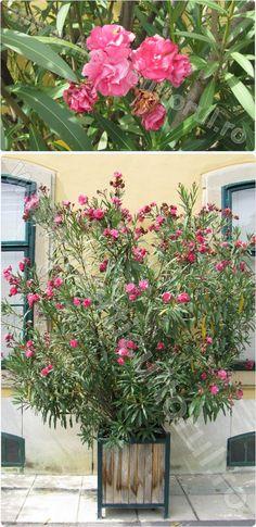 Familia: APOCYNACEAE Denumire populara: Leandru Denumire stiintifica: Nerium oleander Origine: Leandrul este o planta originara din zonele mediteraneene si Asia subtropicala. Proprietati ornamental…