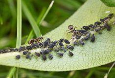 Tipps gegen Blattläuse