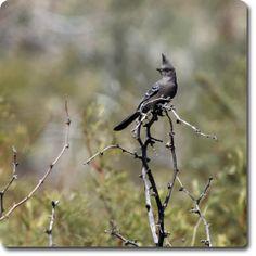Phainopepla – Weird & Fun #WildBird Facts from the Wild #Bird Directory –