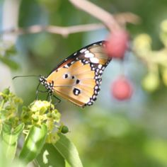 Butterfly, Namibia