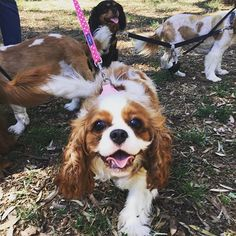 I had so much fun celebrating my birthday at the cavalier walk with all my friends yesterday I can't wipe the smile off my face! 🐶❤️🎉☀️🍗 #happypuppy #birthdaypup #hotdog #teddyturner #theodorable #ckcs #ckcspuppy #cavalierkingcharlesspaniel #cavalier #cavlife #cavalierkingcharles #cavaliersofinstagram #cavalierworld #itsacavthing #pupstagram #puppiesofinstagram #puppylove #puppygram #puppylife #puppyoftheday #dogofthday #dogsofinstagram #blenheimcavalier #blenheimpuppy #cavstagram…
