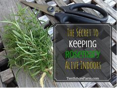 Rosemary is a beautiful and delicious herb. Keeping a rosemary plant alive… Garden Plants, Indoor Plants, Herb Garden, Garden Compost, Container Gardening, Gardening Tips, Indoor Gardening, Rosemary Plant, Starting Seeds Indoors