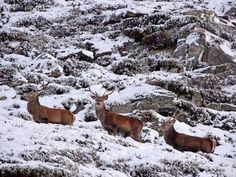 Red deer forage for food in Glenshee as snow hits much of Scotland Red Deer, England And Scotland, White Christmas, Flora, Moose Art, Snow, Winter, Game Shooting, Animals