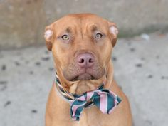 TO BE DESTROYED - 01/10/15 Brooklyn Center My name is INDIA. My Animal ID # is A1024018. I am a female brown and white am pit bull ter and vizsla mix. The shelter thinks I am about 3 YEARS old. I came in the shelter as a STRAY on 12/26/2014 from NY 11222, owner surrender reason stated was STRAY.  https://www.facebook.com/Urgentdeathrowdogs/photos/a.611290788883804.1073741851.152876678058553/934432159902997/?type=3&theater