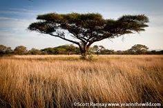 Image result for bushveld grass