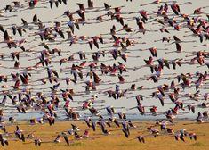 SPAIN / Andalucía - Doñana National Park . Coto de Doñana. Una gran bandada de flamencos. - Greater flamingos in flight over Doñana national park marshes, Andalusia, Spain.