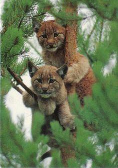 unos bonitos cachorros de tigre