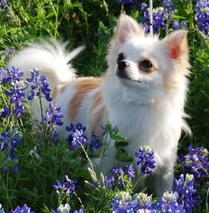 Chihuahua Care - 5 Important Issues Every Owner Should Know - Dog Pets Zone Chihuahua Puppies, Teacup Chihuahua, Cute Dogs And Puppies, Baby Dogs, I Love Dogs, Chihuahuas, Doggies, Pet Dogs, Cute Animal Pictures