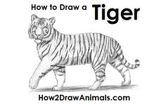 Tiger drawing for kids architectures in spain . tiger drawing for kids Animal Sketches, Art Drawings Sketches, Easy Drawings, Tiger Drawing For Kids, How To Draw Tiger, Tiger Sketch, Horse Sketch, Realistic Animal Drawings, Tiger Illustration