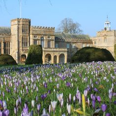 Forde Abbey Crocuses