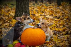 Chien Halloween, Dog Halloween, Halloween Baking, Welsh Corgi Pembroke, Dog Food Delivery, Pumpkin Dog Treats, Dog Safety, Safety Tips, Corgi Dog