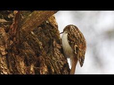 Šoupálek dlouhoprstý (Certhia familiaris),Waldbaumläufer,Eurasian treecreeper - YouTube