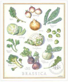 Brassica - John Burgoyne Studio