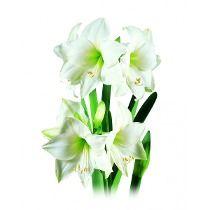 Bulbos De Flores Amaryllis Intokaziebranca 1 Un Jardinagem