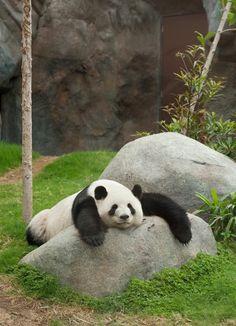 16 Amazingly Cute Pictures Of A Baby Panda - Pandas - Tierbilder Panda Funny, Niedlicher Panda, Panda Bebe, Bear Pictures, Animal Pictures, Cute Pictures, Baby Panda Pictures, Cute Funny Animals, Cute Baby Animals