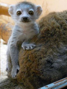 I might just consider getting a pet Lemur in the future!.....Might even name him Julien..... :)