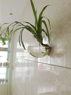 This bubble shape glass bowl is handmade with high boron silicon glass,clear and light.It can be wall hanging with wall nail applied to air plant terrarium;water planting some aureus/bracketplant/Hydrocotyle vulgaris/Lysimachia christinae for glass vase decorate home wall art;Also put sea fan,moss ball,aquarium gravel make mini wall aquarium.  These are set of 4 pieces,We like them grouped together in a set of four though, ***You only received empty glass and white wall hanger(...